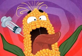 Dự tính năm 2015, Việt Nam sẽ khai triển giống bắp GM đại trà. Hơi chậm? Các tay trùm GM, như Monsanto, Syngenta lời ròng cả tỉ USD thì việc tài trợ nghiên cứu của họ chỉ là chuyện nhỏ, kể cả chi phối kết quả nghiên cứu.