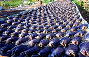 Khô thơm vì trong con cá lượng nước không còn mấy. Khi nướng, lửa tạo nhiệt cao, gây ra hiện tượng browning (chín vàng nâu), làm dậy mùi hương
