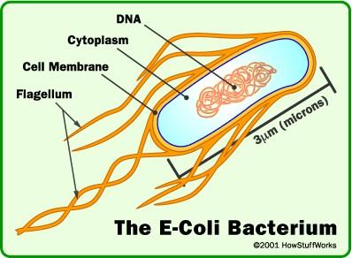 chuỗi amino-acid của Lactoferricin sau khi bị thay đổi đã tỏ ra rất hữu hiệu, hơn trước nhiều, khi tấn công để xé toang màng tế bào của vi khuẩn Escheria coli (được chọn làm thử nghiệm) và tiêu diệt, còn ngăn chặn không cho vi khuẩn E.coli lây lan