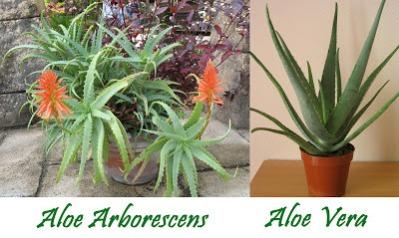 aloe-arborescens-vs-aloe-vera