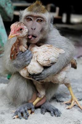 Năm khỉ, chẳng ai ăn thịt khỉ, nhưng làm trò khỉ trong thực phẩm thì khá nhiều. Năm tới là năm gà. Thịt gà tương đối lành (trừ gà móng đỏ). Tôi sẽ khai bút với bài gà. Hẹn bạn đọc đầu năm Gà.